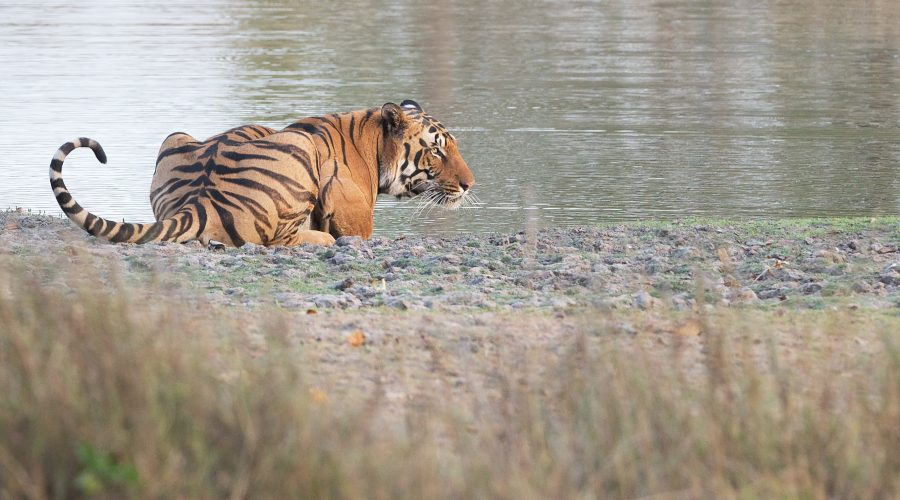 Indien tiger individuel rejse